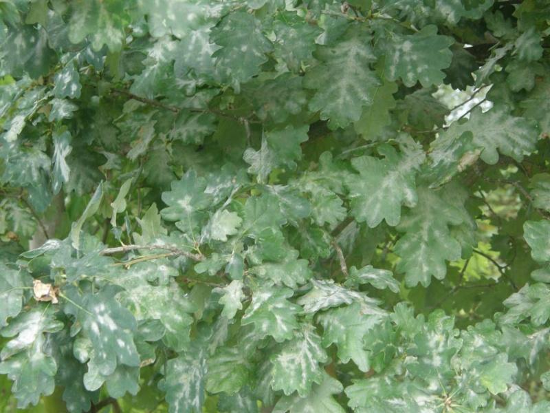 Maladie du chêne, Oïdium P8230010
