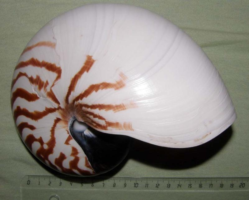 Nautilus pompilius Pb270119