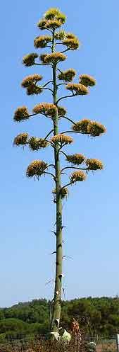 arbre inconnu....de moi [echium pininana] = herbacée géante Aloes-10