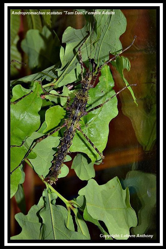 """Andropromachus scutatus """"Tam Dao"""" (P.S.G n° 328) Androp11"""