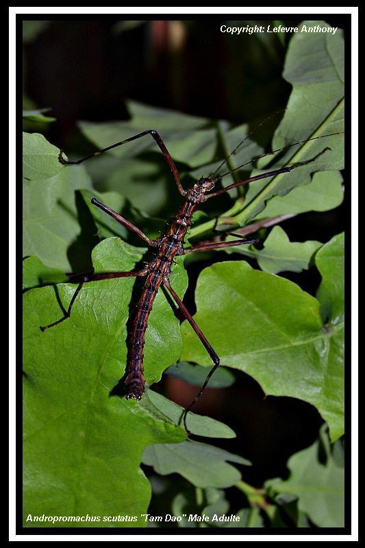 """Andropromachus scutatus """"Tam Dao"""" (P.S.G n° 328) Androp14"""