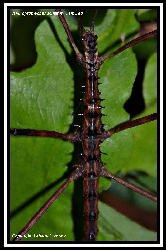 """Andropromachus scutatus """"Tam Dao"""" (P.S.G n° 328) Androp15"""