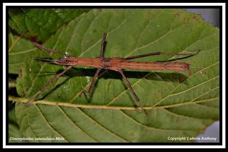 Dimorphodes catenulatus (P.S.G n°236) Dimorp10