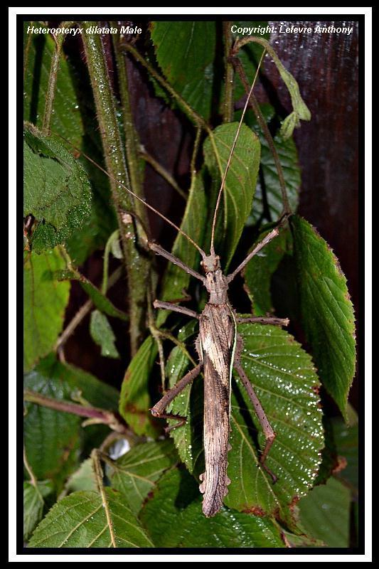 Heteropteryx dilatata (PSG 018) Hetero11