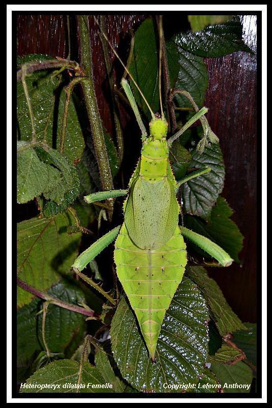 Heteropteryx dilatata (PSG 018) Hetero12