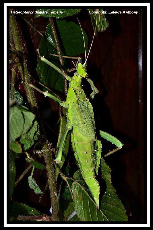 Heteropteryx dilatata (PSG 018) Hetero13