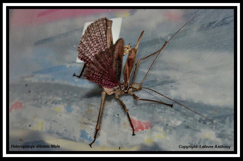 Heteropteryx dilatata (PSG 018) Hetero16