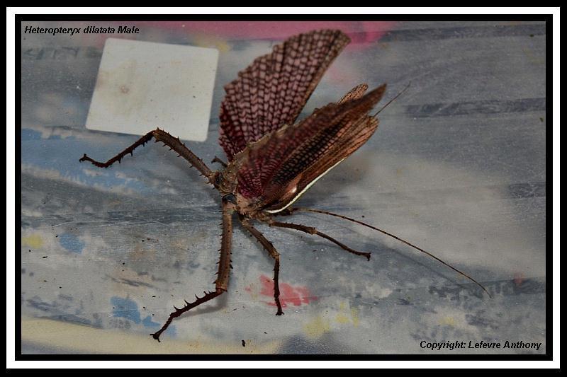 Heteropteryx dilatata (PSG 018) Hetero17