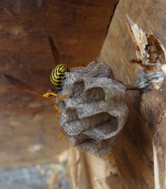 Polistes hôtel à insectes Dsc08410