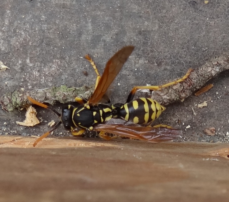 Polistes hôtel à insectes Dsc08411