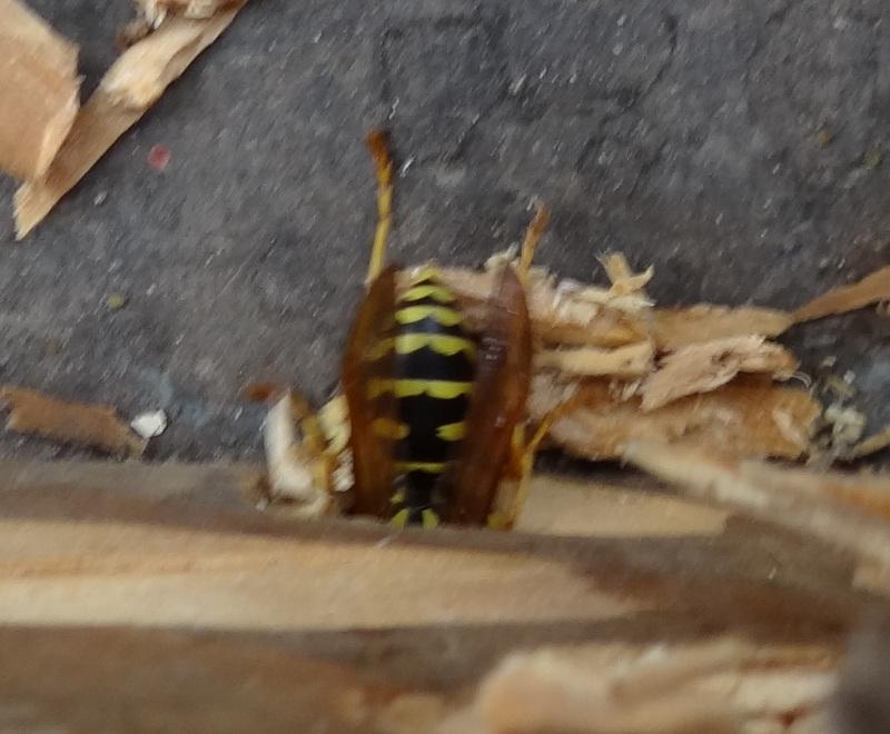 Polistes hôtel à insectes Dsc08412
