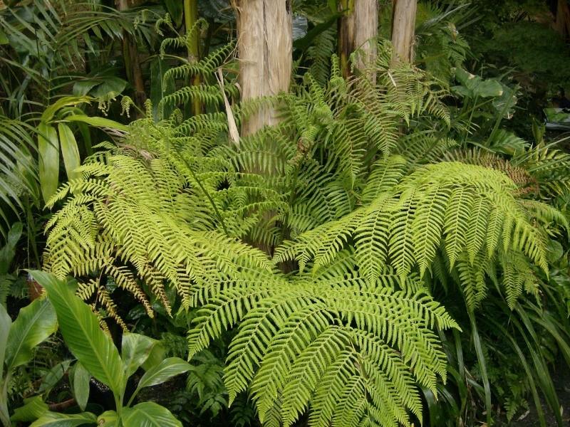 Cyathea australis Images47