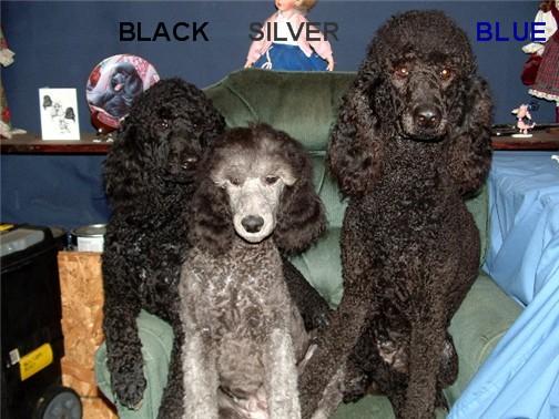 House of Poodles V2 Blackv10