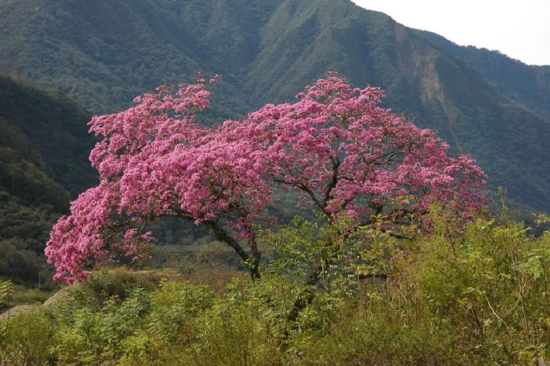 Pau D'arco (Lapacho) - Immunostimolante - Depurativo Lapach11