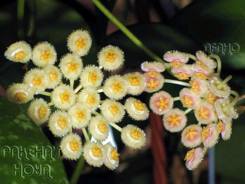 3 pufosenii mici : H nabawanensis / pusilla / parviflora Img_2710
