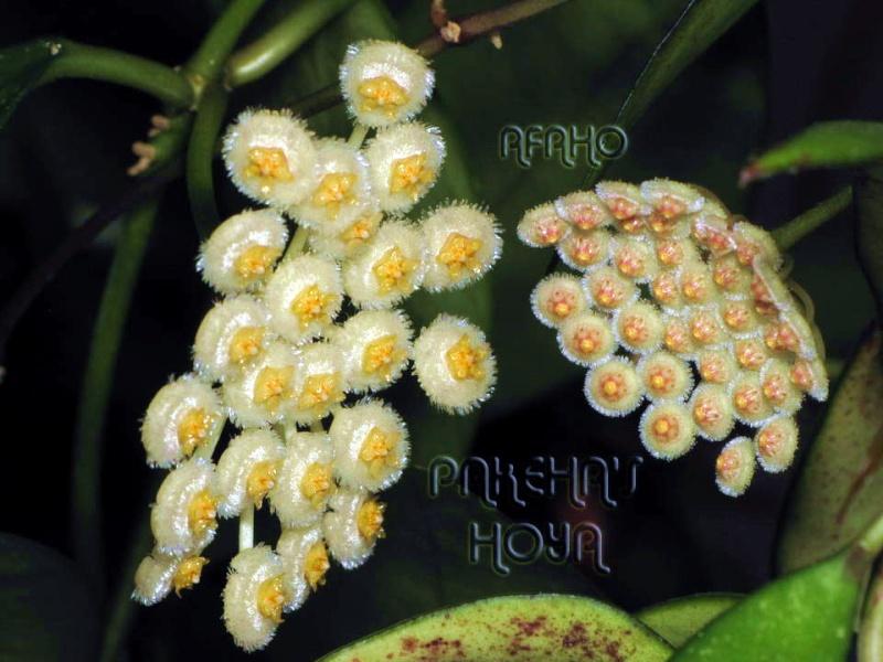 3 pufosenii mici : H nabawanensis / pusilla / parviflora Img_2712