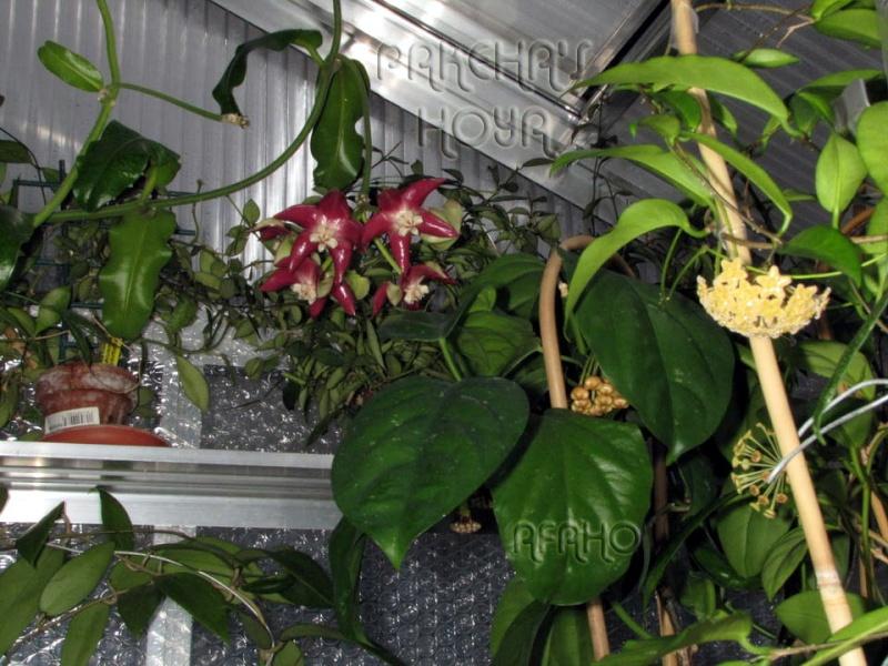 Hoya imperialis - Pagina 4 Img_3113
