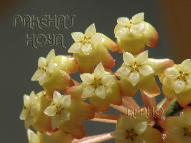 Hoya finlaysonii Img_6110