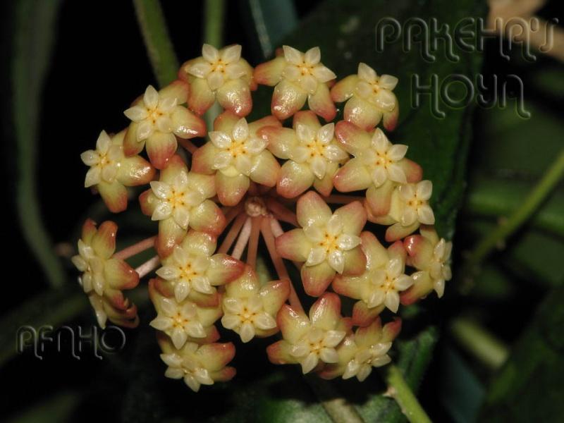 Hoya finlaysonii Img_6212