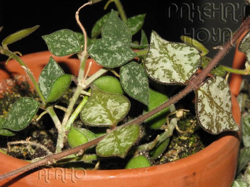 Hoya curtisii Img_6713