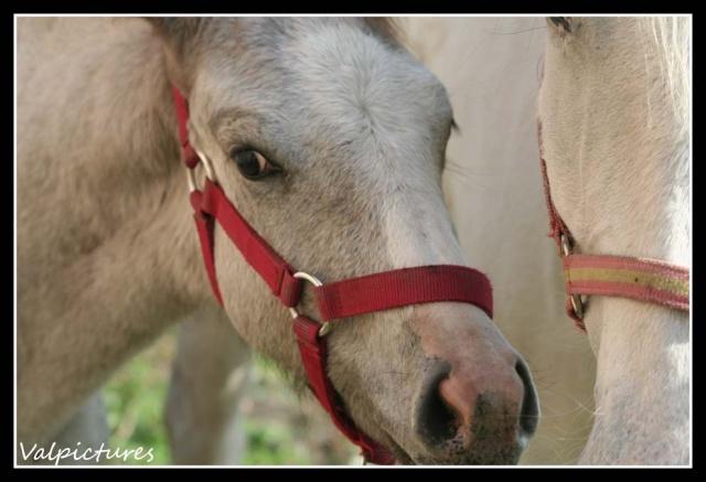Mes photos de chevaux... - Page 3 St910