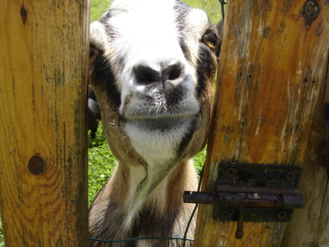 Chèvres pour débroussaillage Dsc02710
