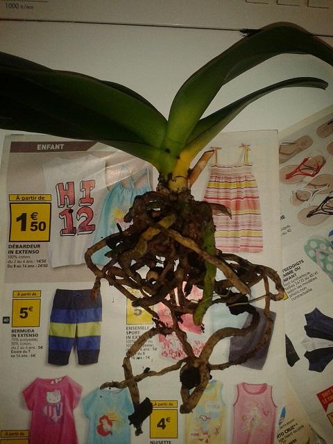 Débutante demande aide pour sauvetage orchidée phalaenopsis 2013-012