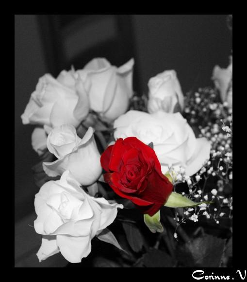photoshop elements 7 Rose_r10