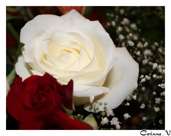 mes premières macros avec mon nouvel apn... Roses10