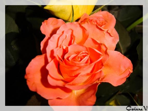 la rose et le piment...lol... Rosita10