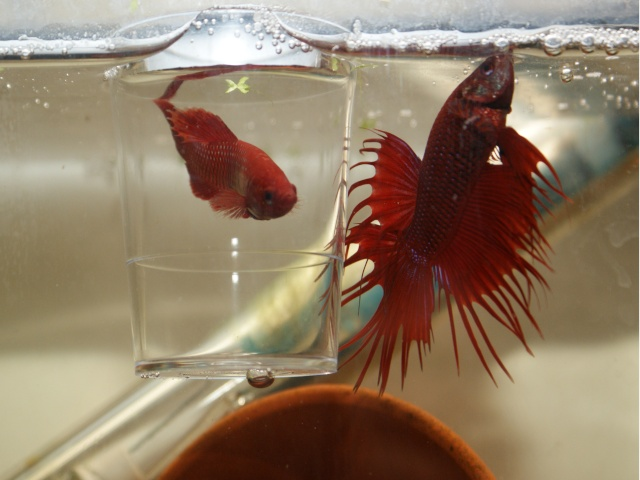 repro betta Couple10