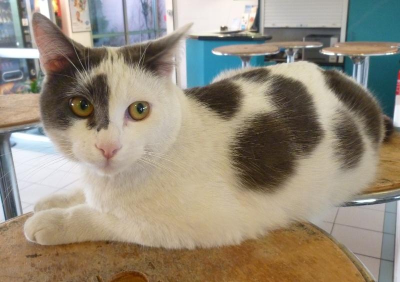 Trouvée à Colomiers chatte blanche et grise  P1040710