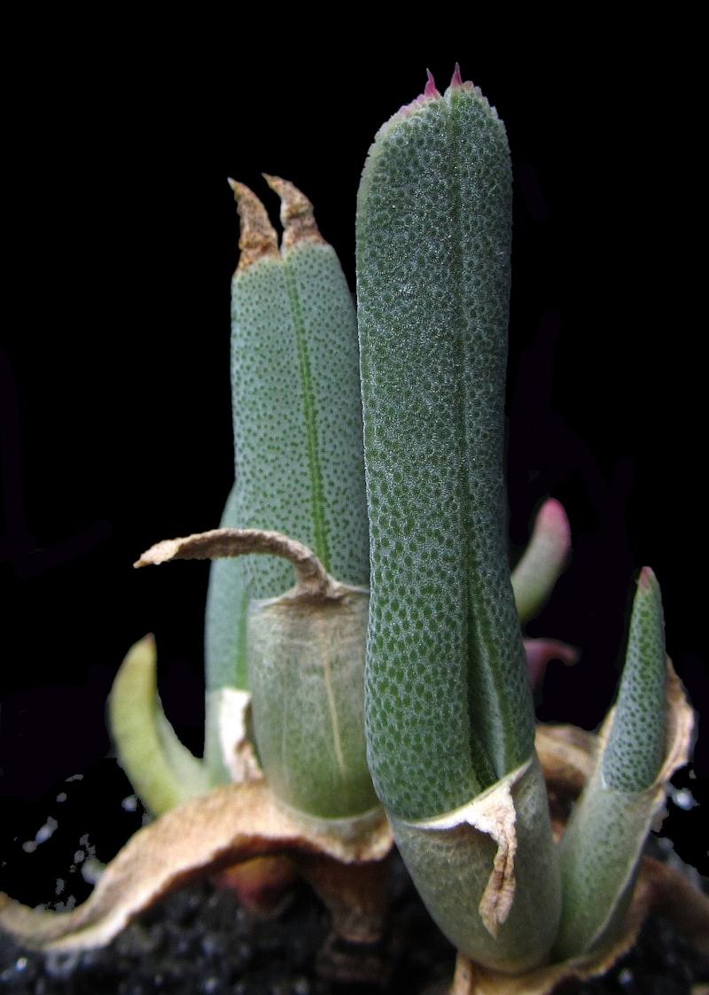 Cheiridopsis derenbergiana Chdere10