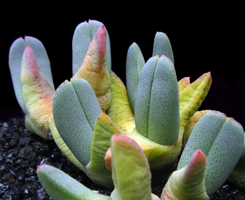 Cheiridopsis robusta Chrobu10