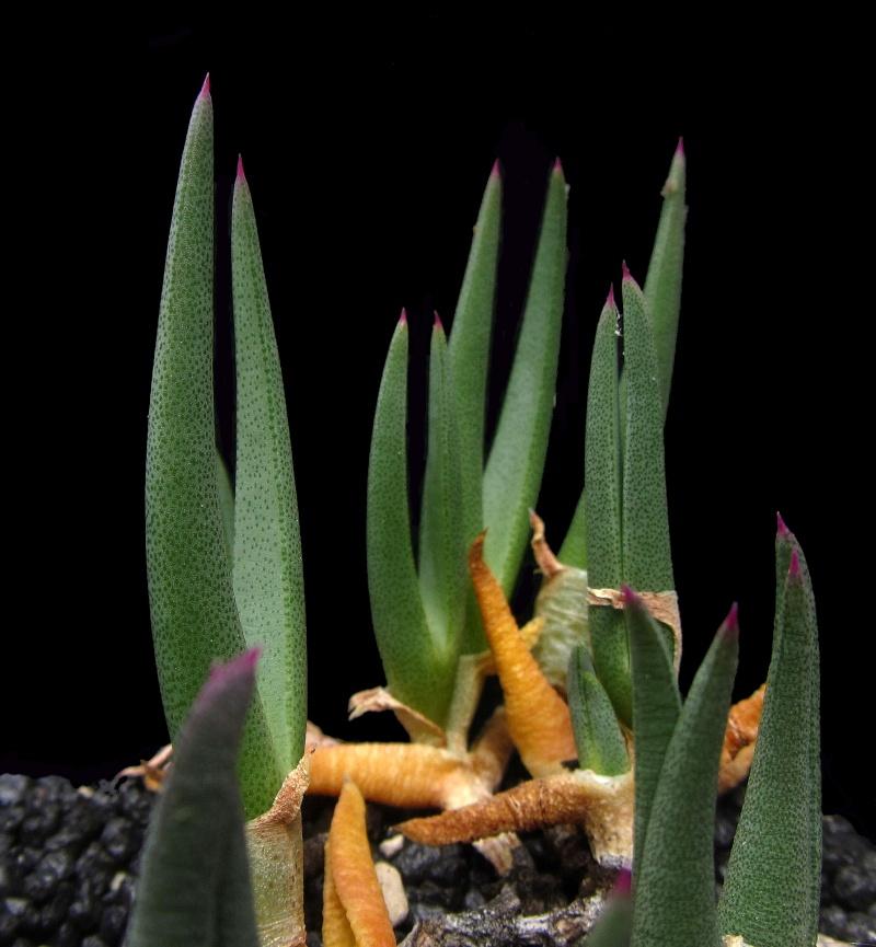 Cheiridopsis turbinata Chturb10