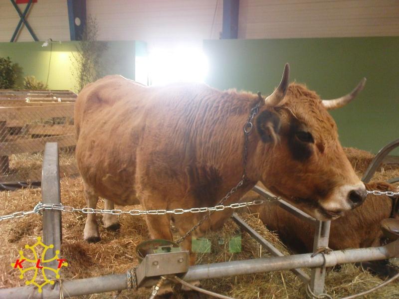 Les photos vaches Aubrac10