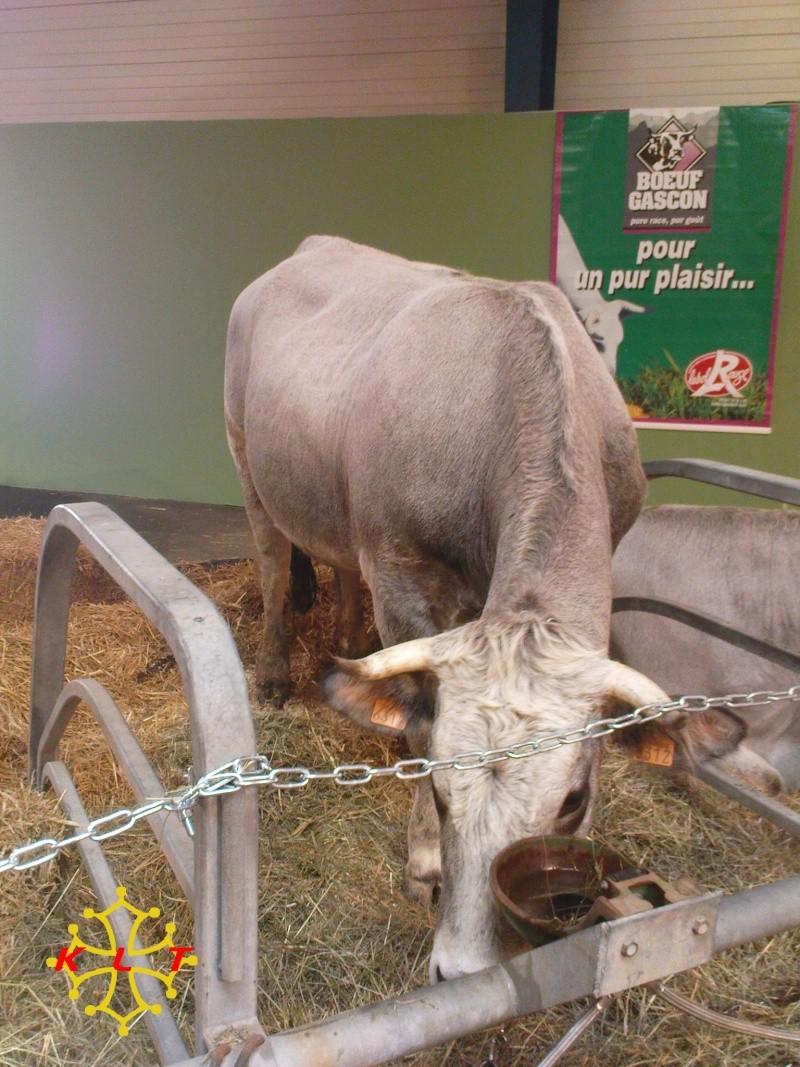 Les photos vaches Gascon10