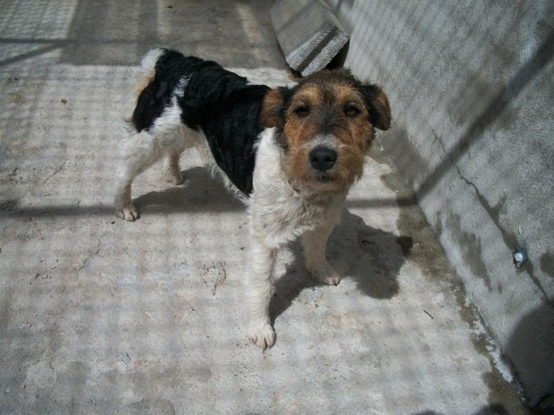 POPEYE (mâle croisé fox terrier) Po_02410