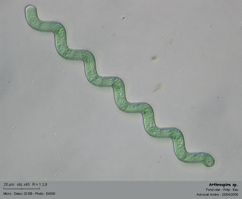 Arthrospira sp, (=anc. Spirulina sp.) (Cyanobactérie) Arthro12