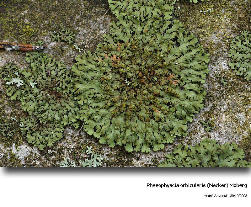 Phaeophyscia orbicularis (Necker) Moberg  (Un lichen) Phaeop10