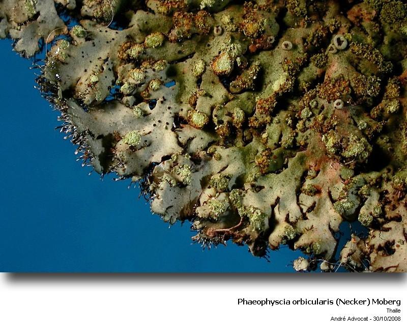 Phaeophyscia orbicularis (Necker) Moberg  (Un lichen) Phaeop11