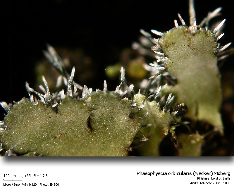 Phaeophyscia orbicularis (Necker) Moberg  (Un lichen) Phaeop12