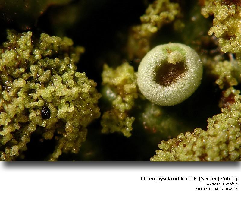 Phaeophyscia orbicularis (Necker) Moberg  (Un lichen) Phaeop13
