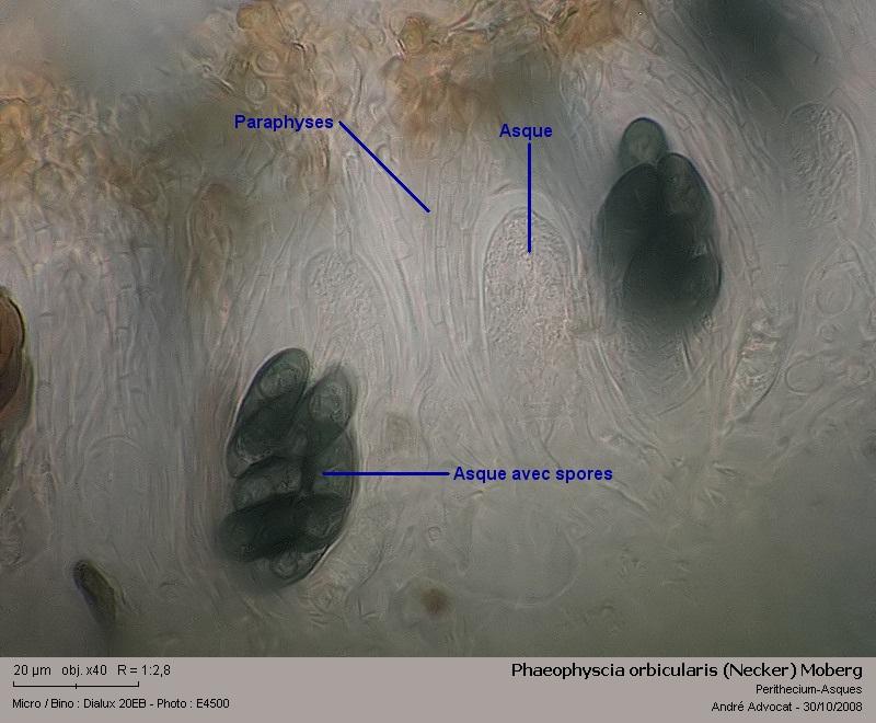 Phaeophyscia orbicularis (Necker) Moberg  (Un lichen) Phaeop18