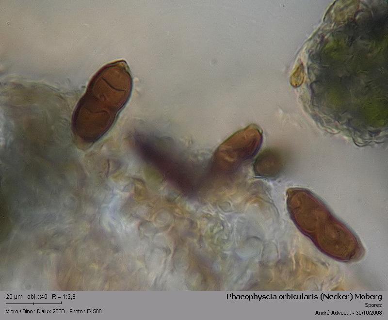 Phaeophyscia orbicularis (Necker) Moberg  (Un lichen) Phaeop19