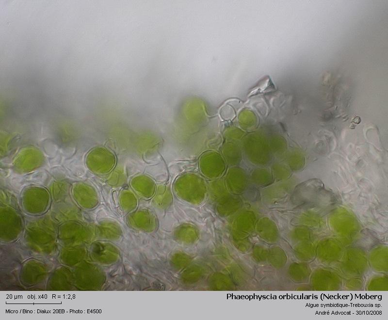 Phaeophyscia orbicularis (Necker) Moberg  (Un lichen) Phaeop20