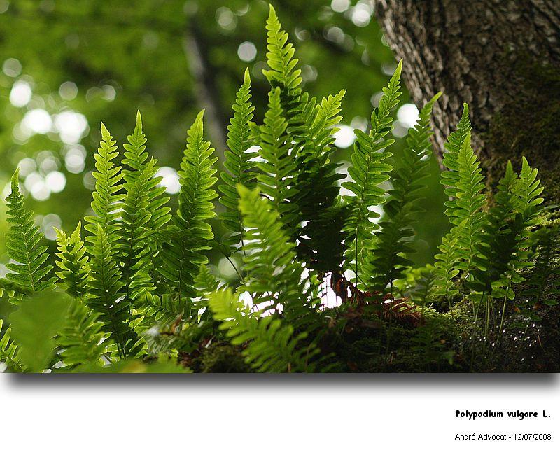 Polypodium vulgare L. (Réglisse des bois) Polypo10