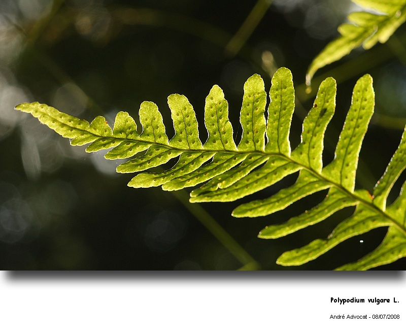 Polypodium vulgare L. (Réglisse des bois) Polypo11