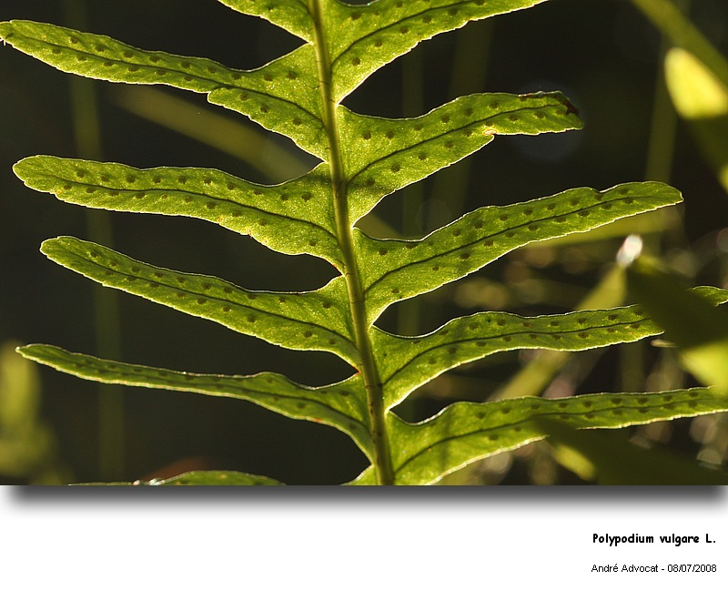 Polypodium vulgare L. (Réglisse des bois) Polypo12