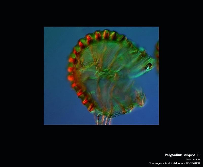 Polypodium vulgare L. (Réglisse des bois) Polypo17